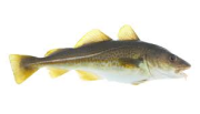 North atlantic Cod fresh