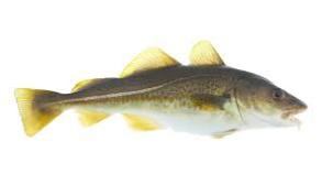 North atlantic Cod fresh - North atlantic cod