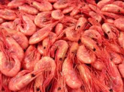 Greenland prawn/shrimp