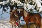 Dufa och Svaltrosi under vintern 2009