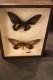 Diorama med fjärilar