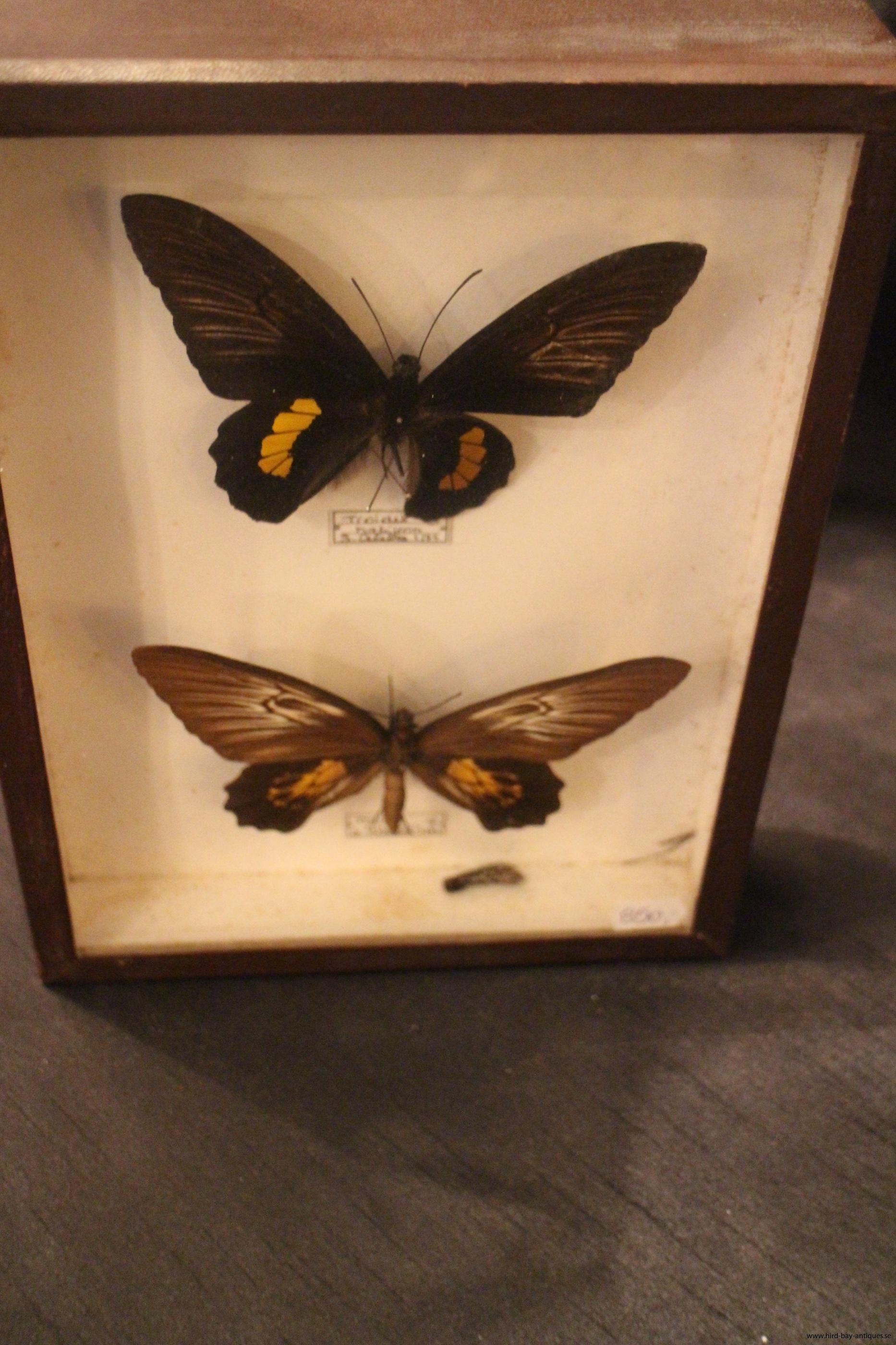fjäril diorama