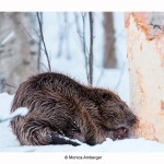 The beaver in February