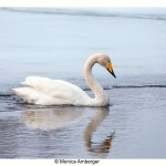 Whooper Swan in the river