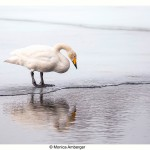 Whooper swan by the river