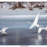 Whooperswans on the river