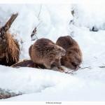 Pair-of-beavers