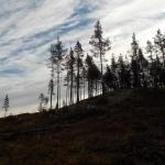 Träd på hygge Solanderleden