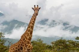 Giraff - masai, Serengeti