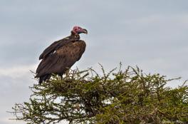 Örongam i Serengeti