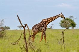 iraff - masai, Serengeti