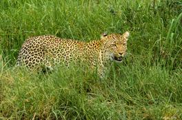 Leopardhona i Serengeti