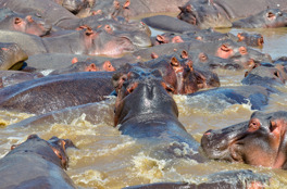 Flodhästar i Serengeti