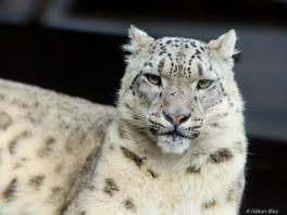 Snöleopard i Kolmårdens djurpark