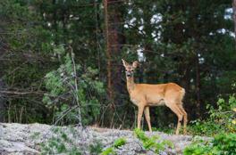 Rådjur strax utanför Åby, Norrköping