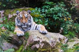 Tiger i svensk natur. Nordens Ark