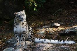 Snöleopard, Nordens Ark