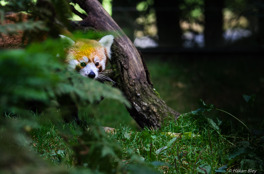 Röd (Mindre) panda, Nordens Ark