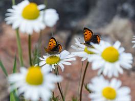 Majfjärilar