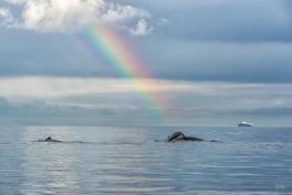 Knölvalar utanför British Columbia