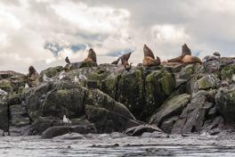 Sjölejon, Race Rocks, Kanada