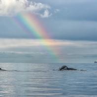 Två knölvalar med regnbåge