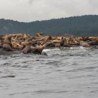 Trängsel av sjölejon