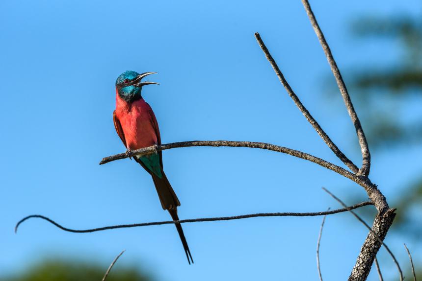 Karminbiätare, karaktärsfågel på savannen