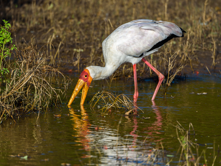 Afrikansk ibisstork