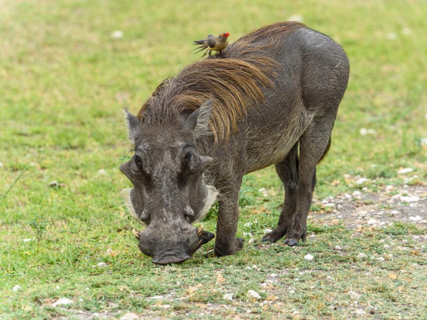 Vårtsvin med medföljande oxhackare.