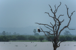 Afrikansk fiskörn, Selous