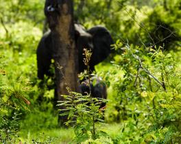 Gömda elefanter, Selous