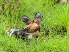 Afrikansk vildhund, Selous