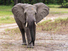 Elefant, Selous