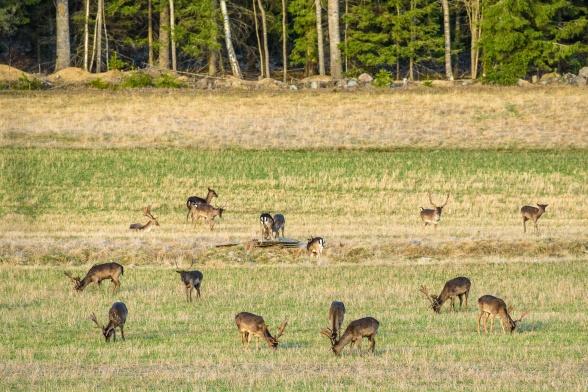 På hemvägen såg vi väldigt mycket dovhjort