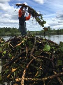 Borttagning av näckrosrötter i Trummen, Klara vatten