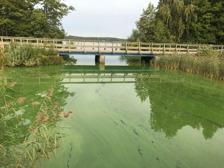 Blomning av cyanobakterier