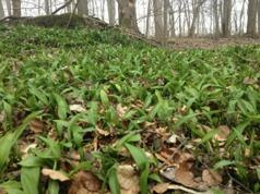 Ramslöken är ofta den första grönskan som tittar fram på våren.