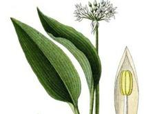 """Läs mer om Ramslök """"Allium ursinum"""". Var den växer och vad man bör tänka på när man plockar den."""