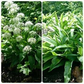 Att odla Ramslök från lök  är lätt och den sprider sig gärna där den trivs. Ramslök ogillar dock hantering och kan ha något svårare att gå i blom året efter omplantering.