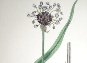 Skogslök, Allium scorodoprasum.