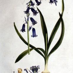 Engelsk klockhyacint, Hyacinthoides non-scripta