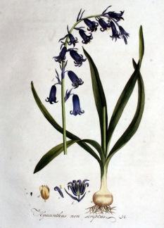 Engelsk klockhyacint, Hyacinthoides non-scripta -