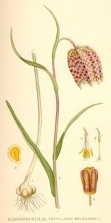 Kungsängslilja, Fritillaria meleagris -