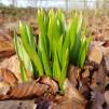 Vildtulpan - Tulipa sylvestris