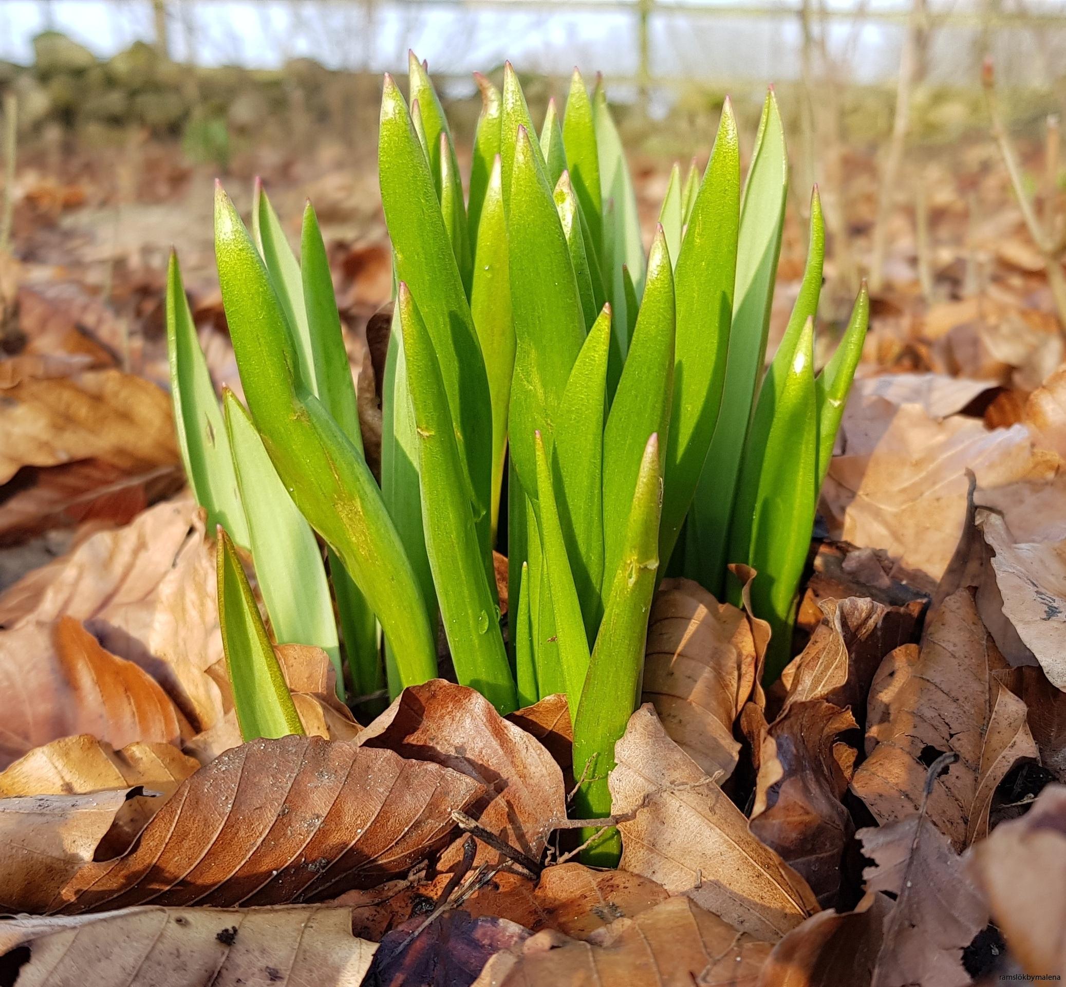 Vildtulpan grönskar tidigt på våren. Dessa lökar planterades i tuva våren 2018.