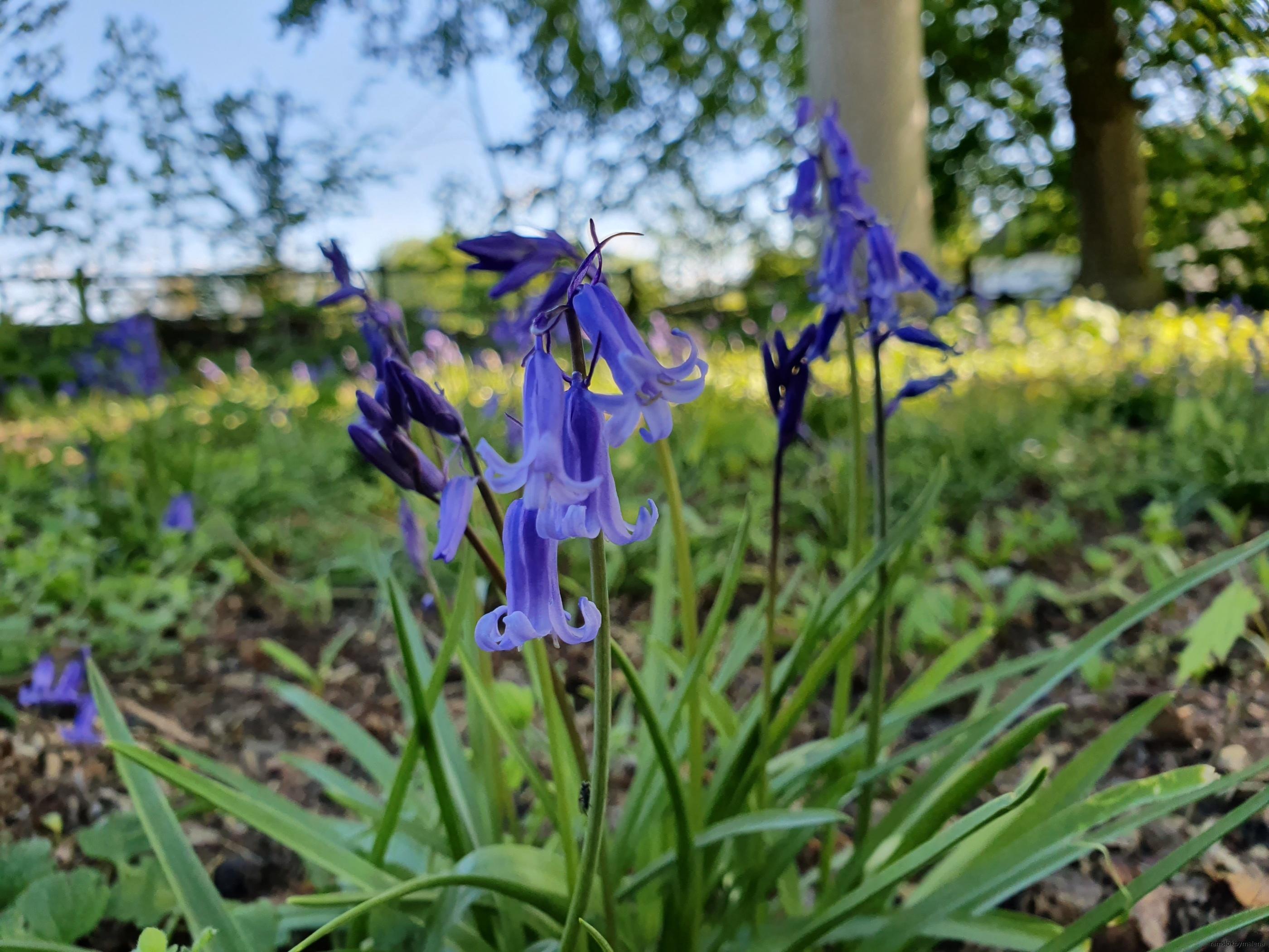 Lökar av klockhyacint våren 2020 efter plantering hösten 2019