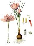 Saffranskrokus (Crocus sativus) 25 lökar