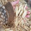 Odla Ramslök, 25 st lökar - Barrotade lökar av ramslök
