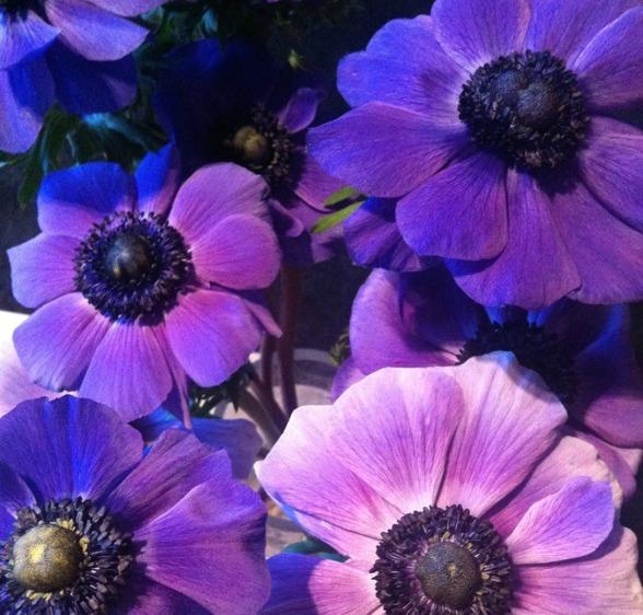 Underbara anemoner i full blomning!